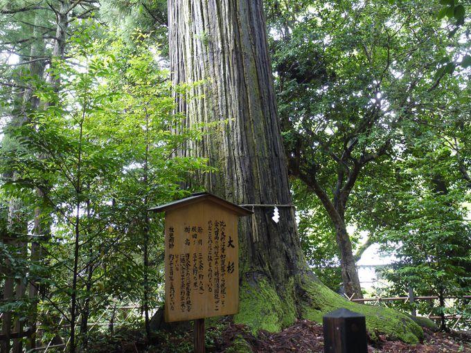 境内で一番人気!パワーをしっかり感じたい御神木「大杉さん」