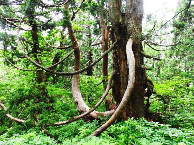 「象牙杉」と「象の鼻の杉」