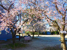 山内一豊誕生の地、愛知岩倉五条川の桜は冬も満開、紅葉も同時に!