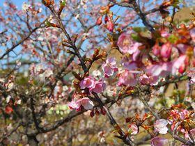 知多「佐布里池」に春が来た!5400本の早春の梅林を歩こう