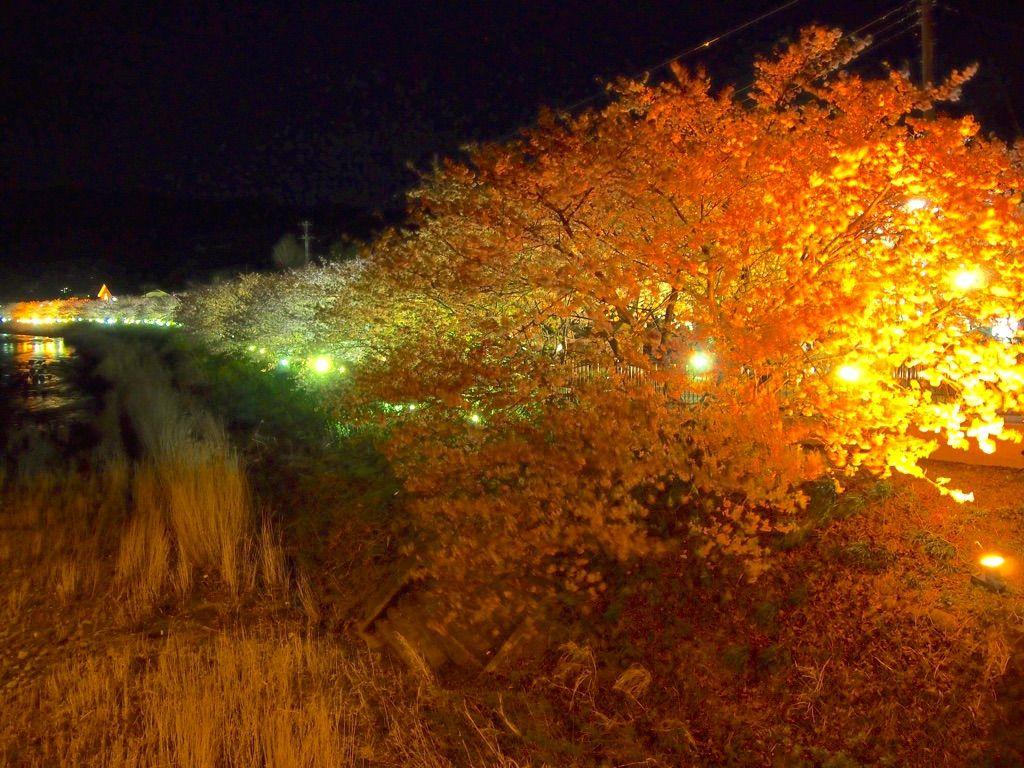 昼間だけじゃない!早咲きで有名な「伊豆・河津桜」は夜桜も必見