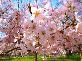 4月中旬が見頃!長野県「高遠城址公園」に咲く満開の桜を見に行こう|長野県|トラベルjp<たびねす>