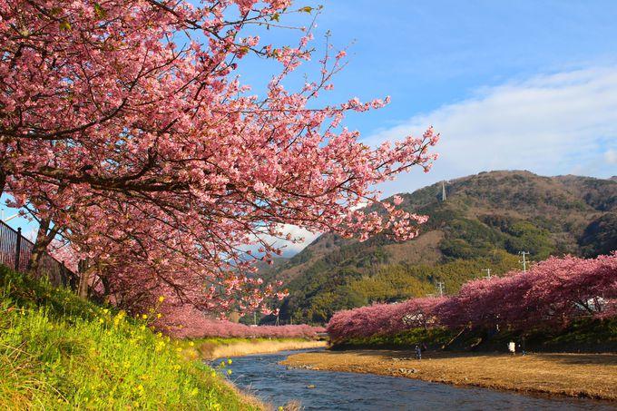 2月下旬頃が見頃!2018年静岡県「河津桜」の見どころまとめ
