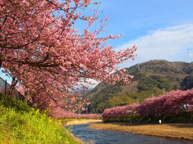 2月下旬頃が見頃!静岡県「河津桜」の見どころまとめ|静岡県|トラベルjp<たびねす>