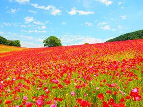 メディアでじわじわキテる!?「天空を彩るポピー畑」が埼玉に出現|埼玉県|トラベルjp<たびねす>