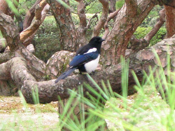 「カチカチ」と高い声が聞こえたら「カチガラス」それは美しき青き鳥!