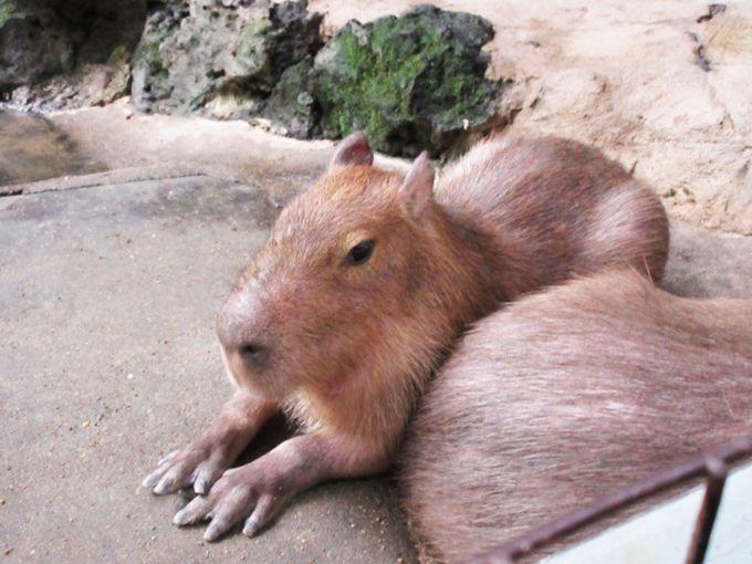 ふれあい度★★★☆☆ 哺乳類代表「カピバラ」ファミリー