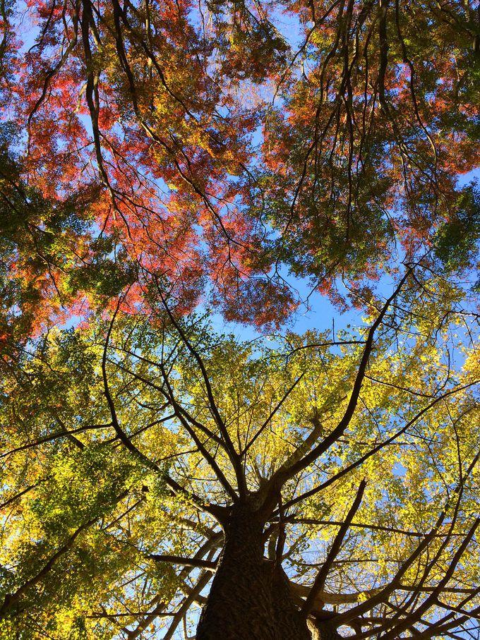 銀杏と紅葉が織りなす美空間!穴場の紅葉名所 鎌倉「獅子舞」