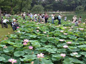 駅から1分で極楽へ!千葉公園の大賀ハスは6月の早朝がベスト|千葉県|トラベルjp<たびねす>