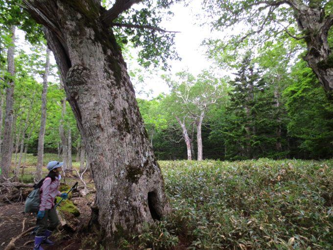 魅力4 沼のほとりにあるシンボルツリー・巨木のウロに注目!