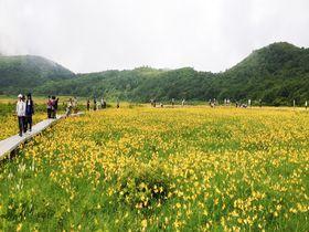 黄色の草原を歩いてみない?福島・雄国沼のニッコウキスゲ大群落はシャトルバス&木道で楽々!