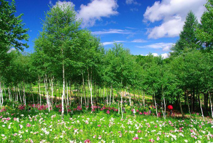 カラフルなゆりとの対比が美しい!人気の「白樺エリア」