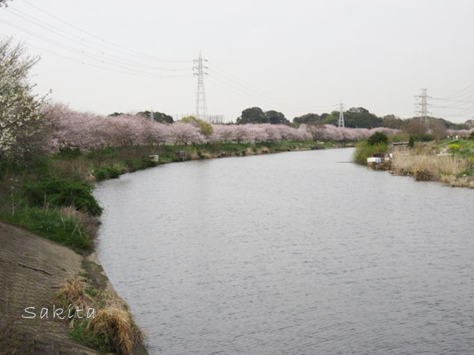 ラストは圧巻!約1キロ続く川沿いの桜のトンネルへ