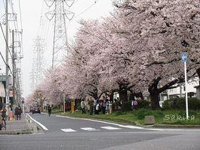 ラストは桜のトンネル!千葉「花見川」で堪能したい全長4kmの桜道|千葉県|トラベルjp<たびねす>