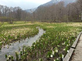 水芭蕉の密集は尾瀬以上!長野「奥裾花自然園」で81万本の大群落を堪能|長野県|トラベルjp<たびねす>