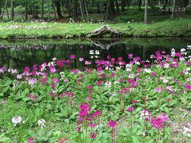 立ちすくむほど美しい!奥日光・中禅寺湖畔のクリンソウ群生地