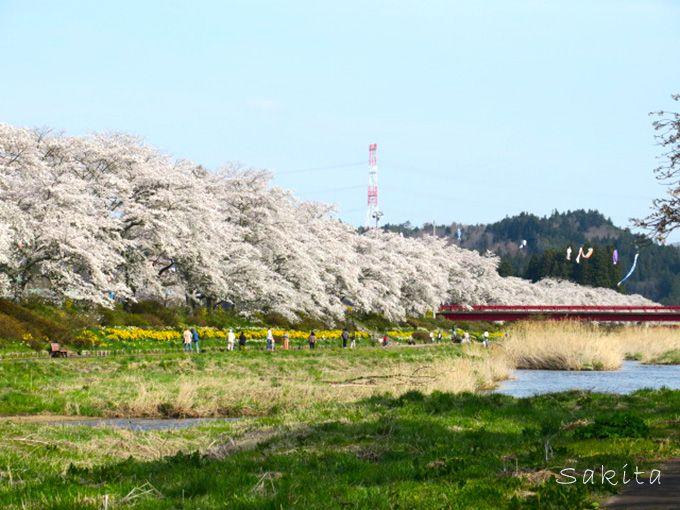 桜並木が両岸5キロ!福島・夏井千本桜は4月中~下旬が見頃