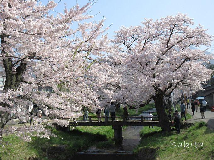 観音寺川の桜並木の魅力とは?