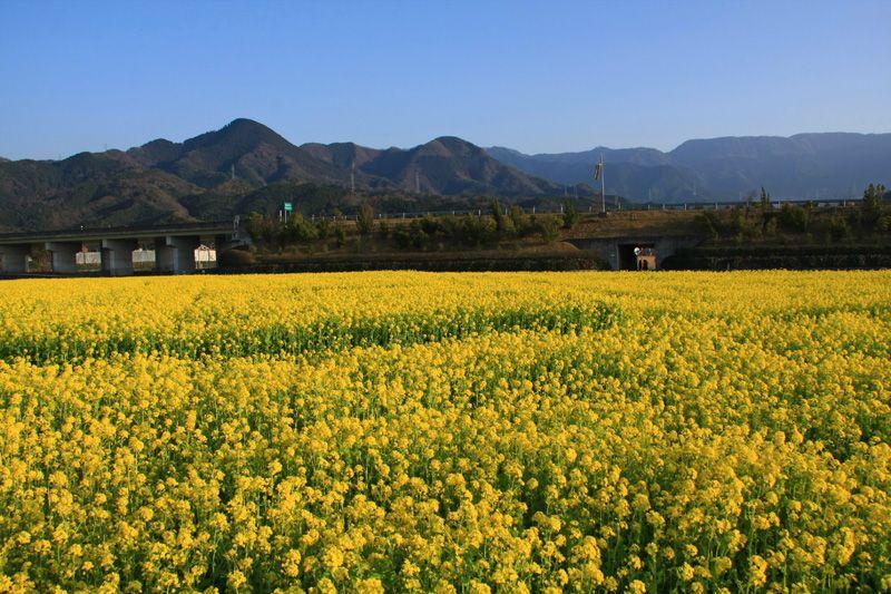 一面の菜の花畑と雪山!温泉も!愛媛「見奈良の菜の花畑」