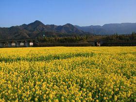 一面の菜の花畑と雪山!さらには温泉も!愛媛「見奈良菜の花畑」|愛媛県|トラベルjp<たびねす>