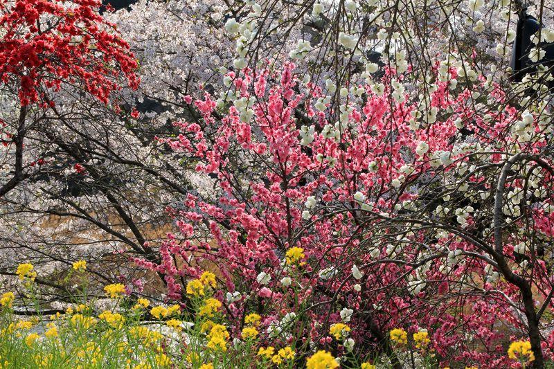 雛祭りと桜と古い町並み!究極の日本の春!愛媛・内子町