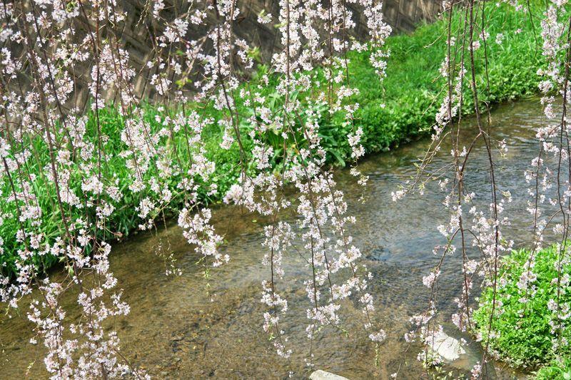 定番お花見スポットと枝垂れ桜の並木道で桜を堪能