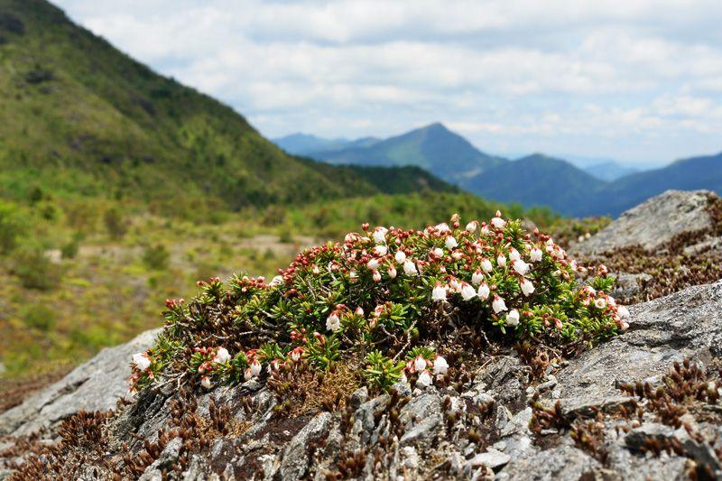 ツガザクラが咲く銅山越付近はまるで日本アルプスの風景!