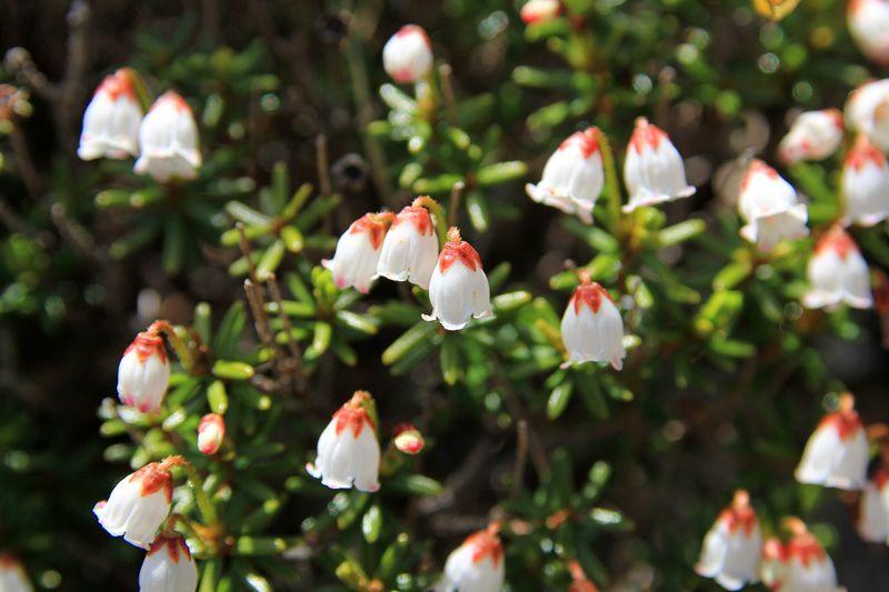 四国には別子銅山跡にだけ、日本最南限に自生する高山植物「ツガザクラ」