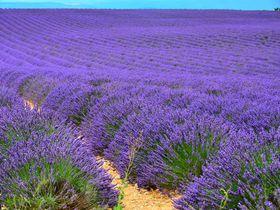 死ぬまでに一度は見たい絶景!南仏のラヴェンダー畑は紫色の大海原