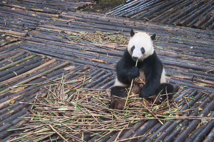 パンダを見るためには早朝から出発
