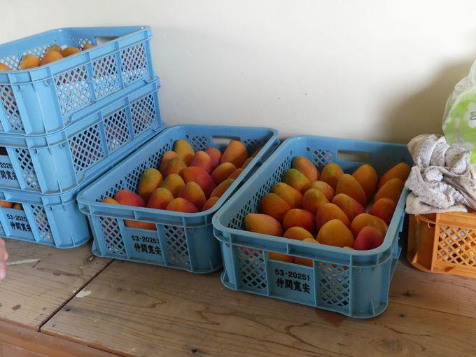 特にオススメなのはマンゴー収穫時期の夏!