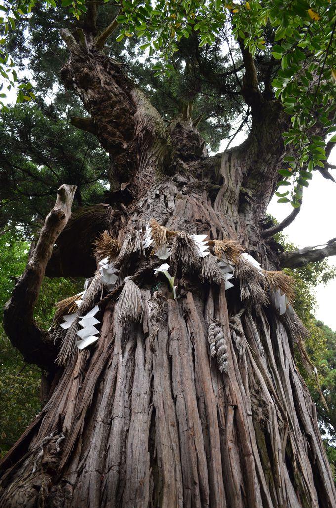老杉と白木蓮〜2つの神樹に隠された意味〜