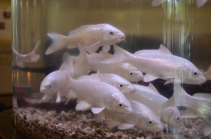 多彩な錦鯉の種類