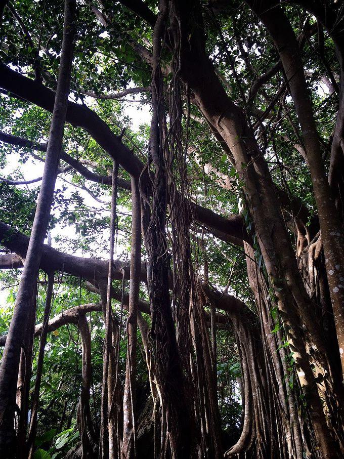 神木のがじゅまるの木を巡る