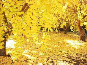 街が黄色に染まる!愛知「そぶえイチョウ黄葉まつり」で銀杏を愛でよう|愛知県|トラベルjp<たびねす>