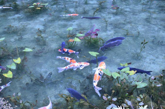 「モネの池」と称される美しい池