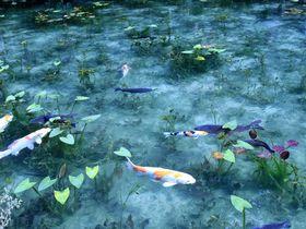 ハートの鯉で恋成就!新たなパワースポット岐阜「モネの池」|岐阜県|トラベルjp<たびねす>