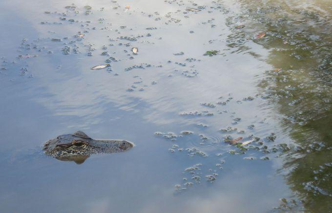 川にはワニが!タバスコ工場の周辺に広がる大自然