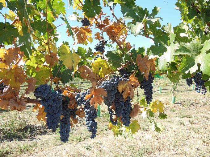仏ボルドーに匹敵!ワイン造りにぴったりの大地