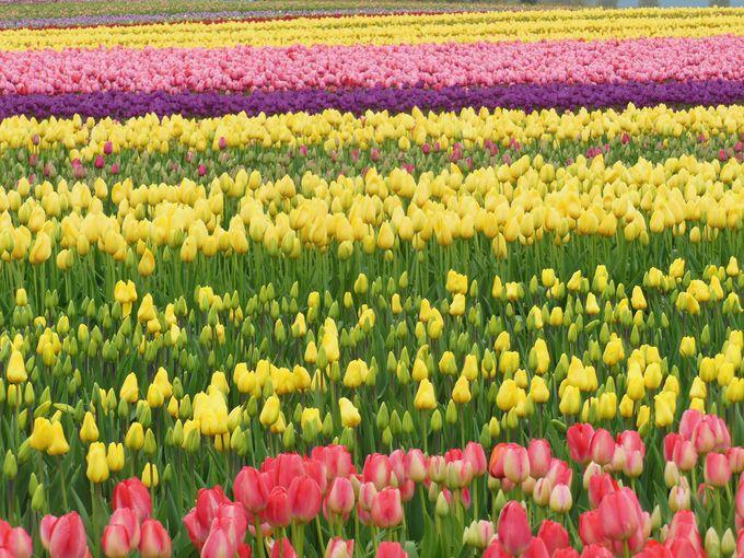 チューリップも水仙も咲き乱れる春!