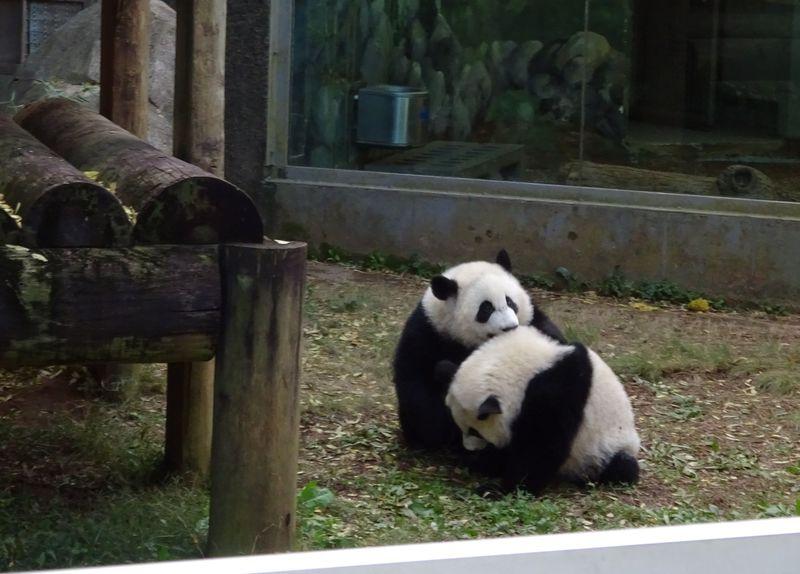 双子のパンダが可愛過ぎる!アトランタ動物園で至福の時間