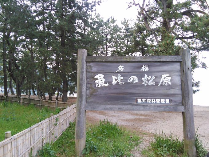 敦賀を代表する景勝地 気比の松原