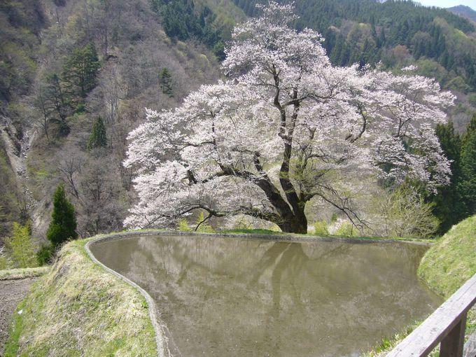 義経物語が語り継がれる、園原の里の一本桜「駒つなぎの桜」