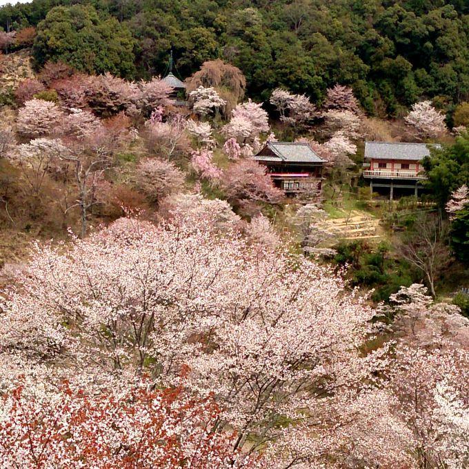 桜を御神木とする修験道が吉野山の絶景を作り出す