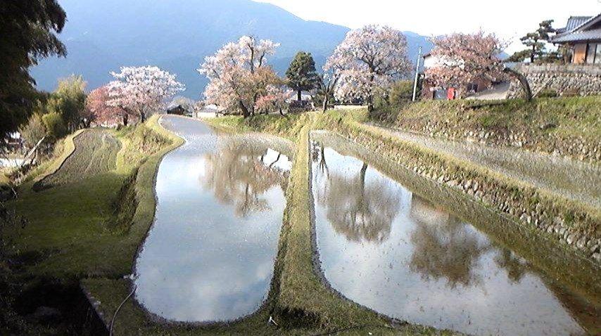 春の棚田に映る美しき日本のさくら名所100選「三多気の山桜」
