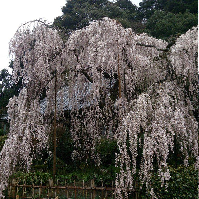 枝垂れ桜の向こうに、かすかに笑みをたたえた仏様「大野寺」