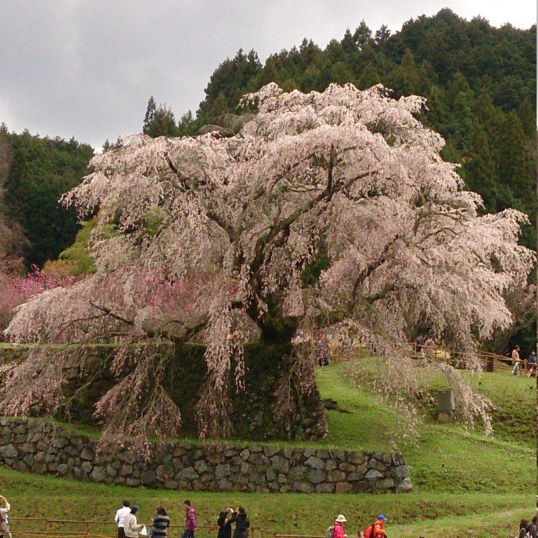 旅の終わりは、樹齢約300年・勇将伝説にちなんだ一本桜「又兵衛桜」