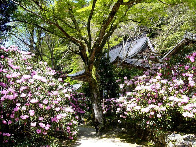 女人高野「室生寺」の表門辺りはシャクナゲのトンネル