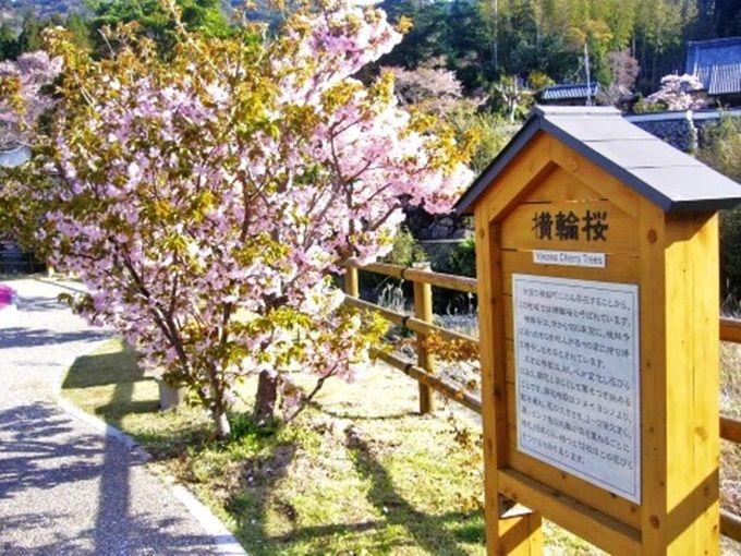 桜祭りイベント会場・横輪桜の里<郷の恵・風輪>
