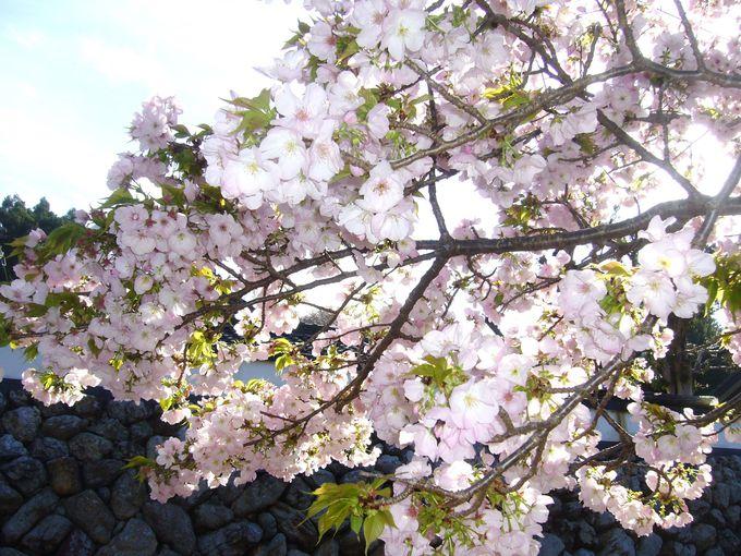 「横輪桜」のルーツは「弘化山 桂林寺」から